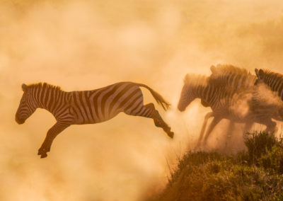 Zebras Alight